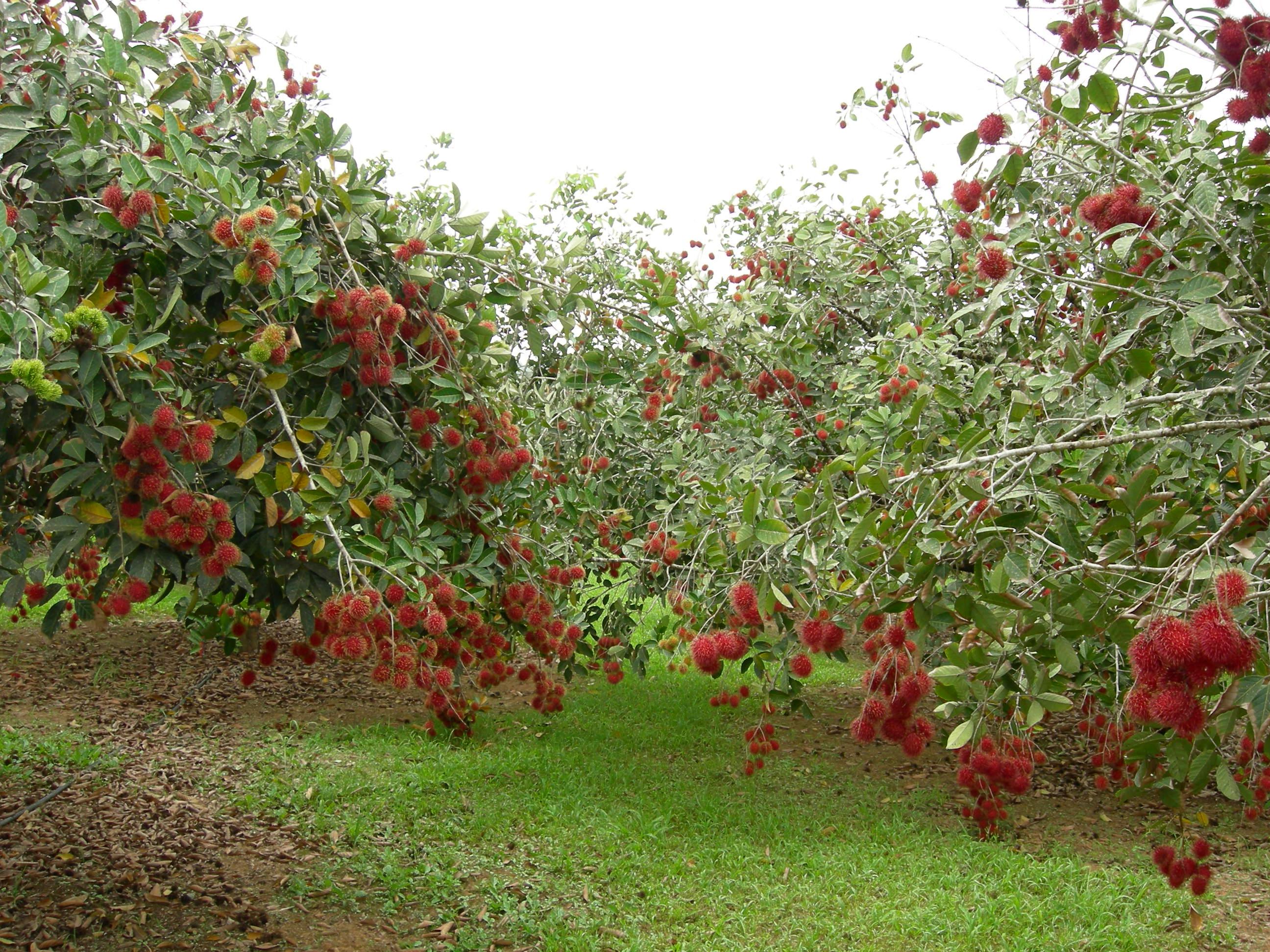 Pohon Buah Rambutan